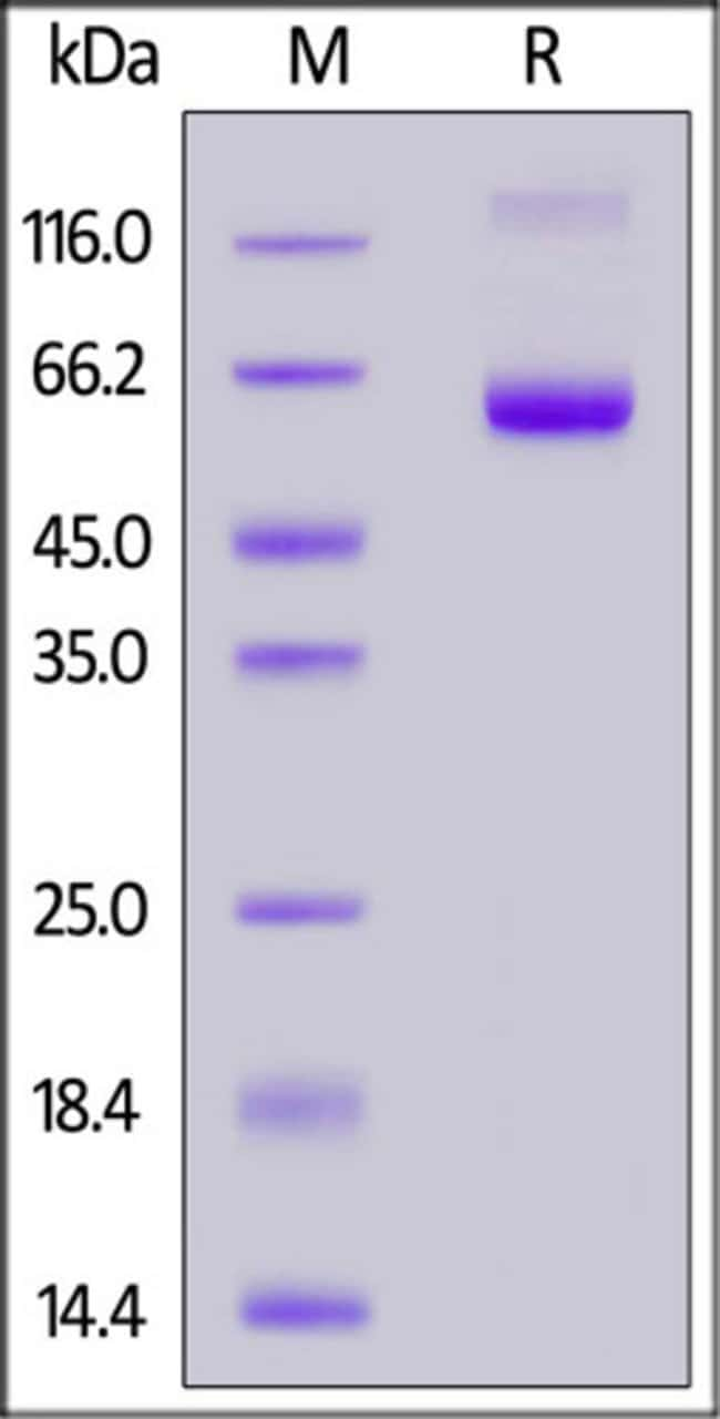 ACROBiosystemsFITC-Labeled Human EpCAM / TROP1 Protein, Fc Tag