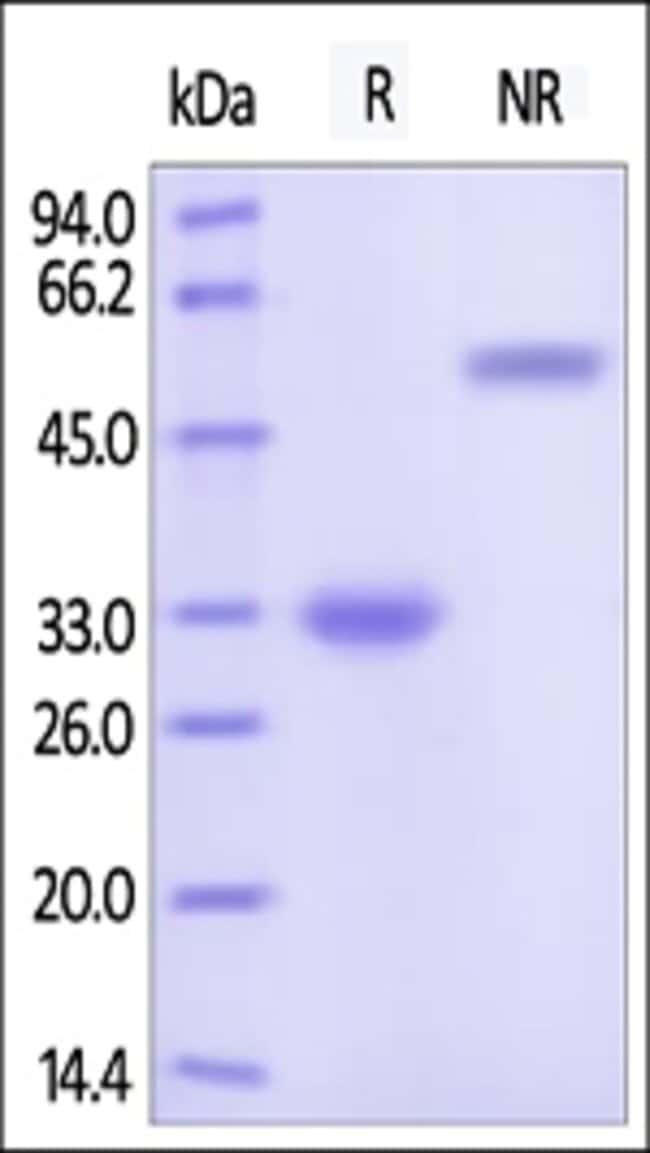 ACROBiosystemsRecombinant Protein;Human IgG4 Fc Protein, Tag Free;HEK293;200UG;IG4,IGHG2,IgG2
