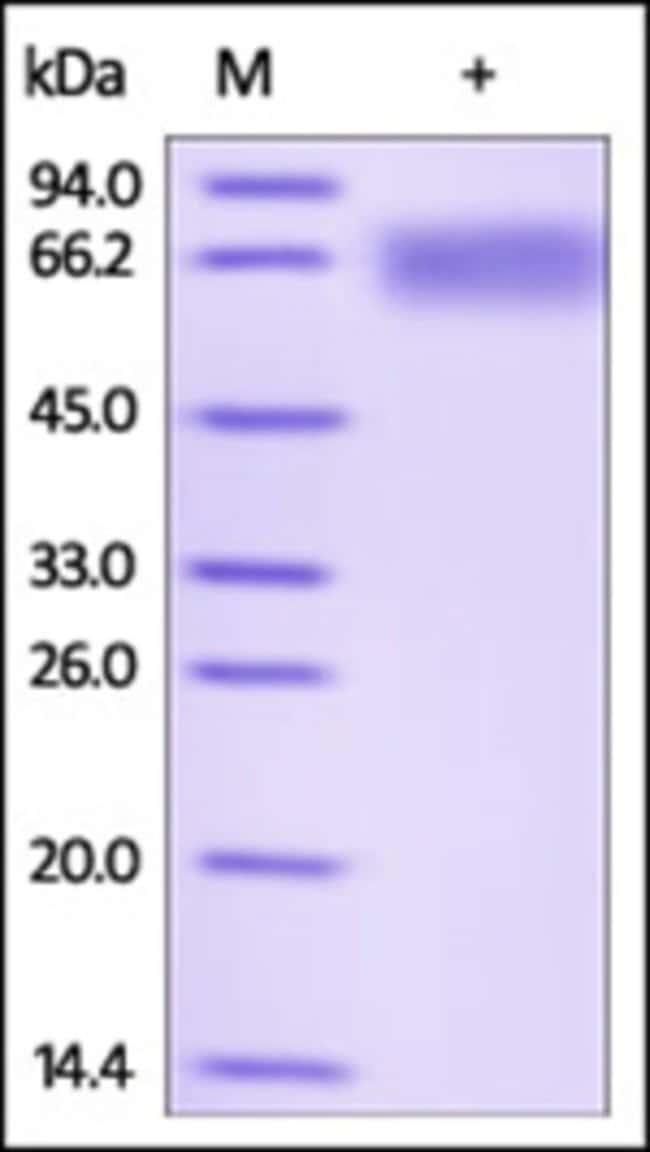ACROBiosystemsRecombinant Protein;Human LILRB2 / CD85d / ILT4 Protein;HEK293;100UG;LI2,LILRB2,ILT4,LIR2,MIR10,CD85d,LIR-2,ILT-4,MIR-10