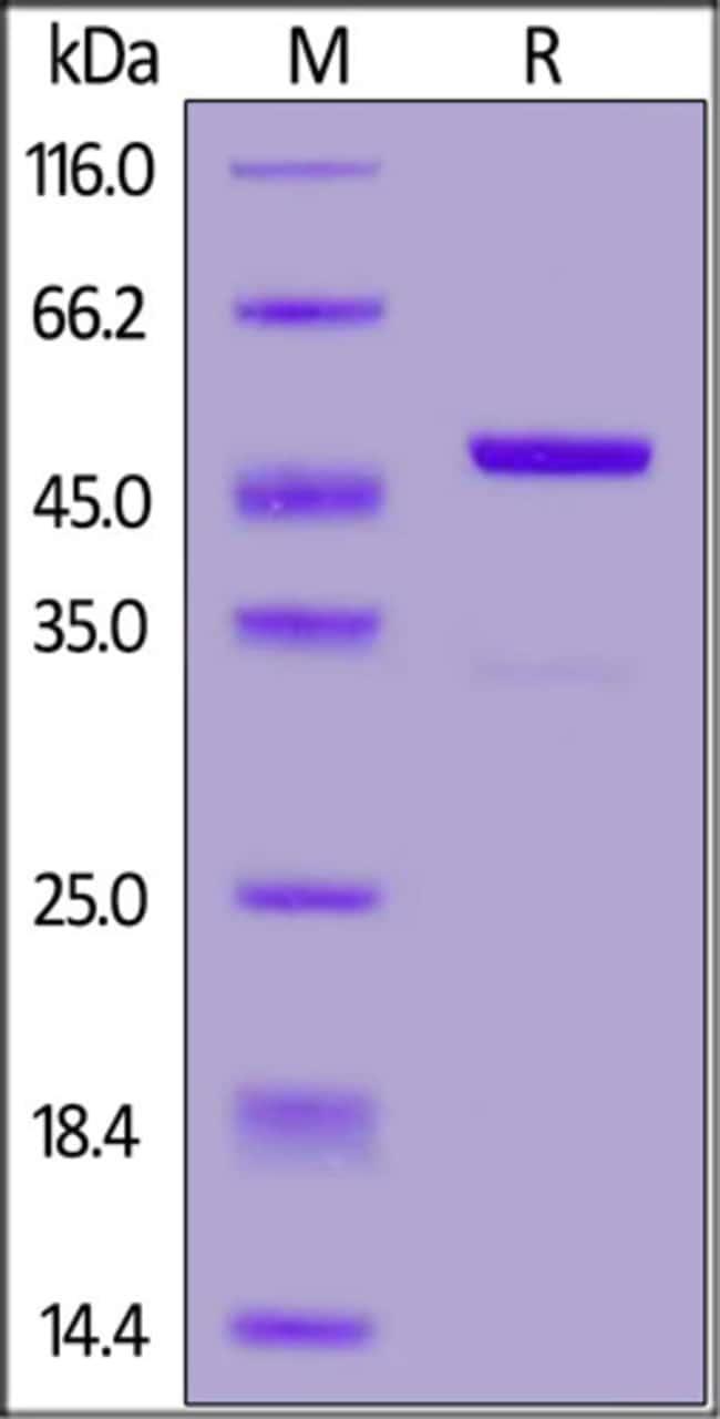 ACROBiosystemsBiotinylated Onchocerca volvulus OV16 protein, Avi,GST Tag