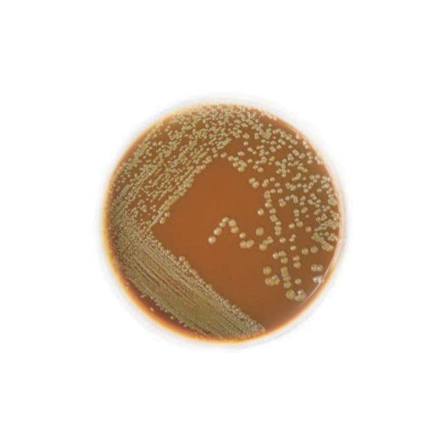 Thermo Scientific Chocolate Agar Medium :Life Sciences:Microbiology