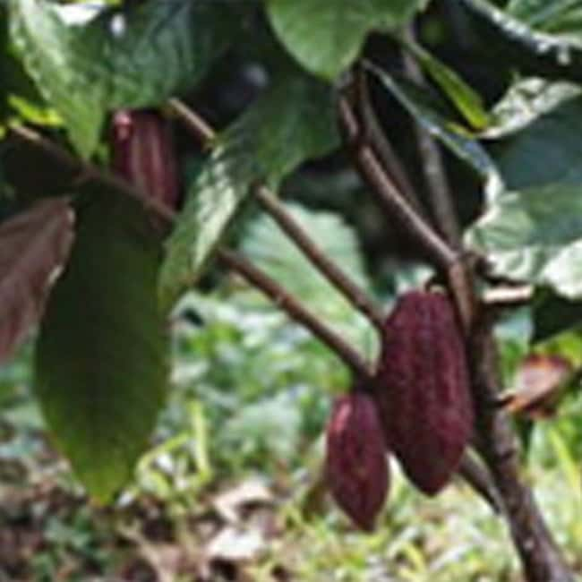 Thermo Scientific ImmunoCAP Miscellaneous Food Allergens Cacao (Theobroma