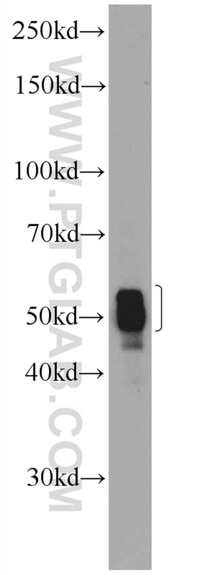 CIAO1 Rabbit anti-Human, Polyclonal, Proteintech 150 μL; Unconjugated Produkte