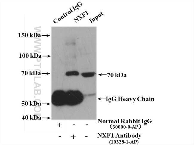 NXF1 Rabbit anti-Human, Mouse, Rat, Polyclonal, Proteintech 20 μL; Unconjugated Produkte