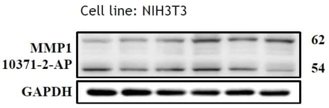 MMP1 Rabbit anti-Human, Mouse, Rat, Polyclonal, Proteintech 20 μL; Unconjugated Produkte