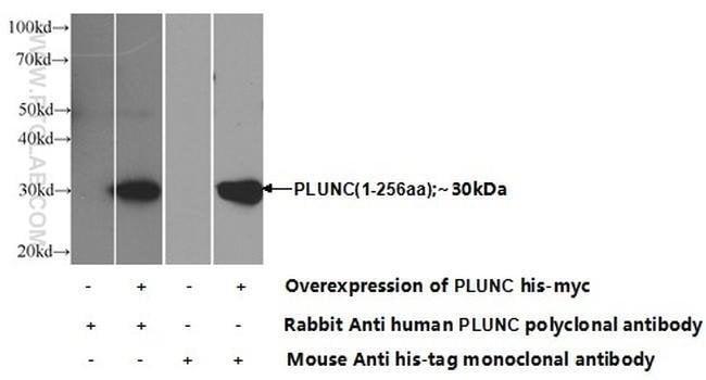 PLUNC Rabbit anti-Human, Mouse, Polyclonal, Proteintech 20 μL; Unconjugated Produkte