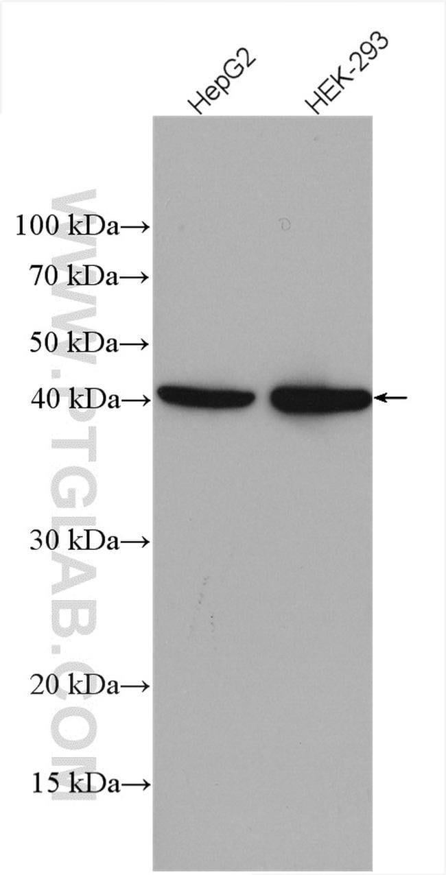 SLC25A3 Rabbit anti-Human, Polyclonal, Proteintech 20 μL; Unconjugated Produkte