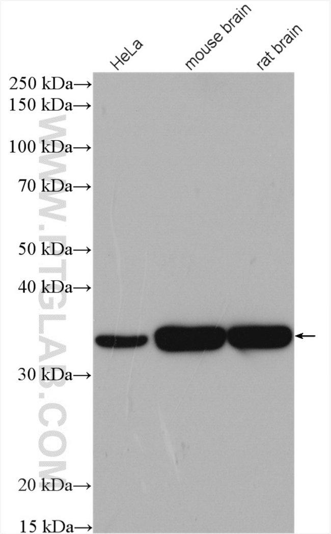 alpha-SNAP Rabbit anti-Human, Mouse, Rat, Polyclonal, Proteintech 20 μL; Unconjugated Ver productos
