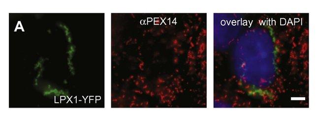 PEX14 Rabbit anti-Human, Mouse, Rat, Polyclonal, Proteintech 150 μL; Unconjugated Produkte