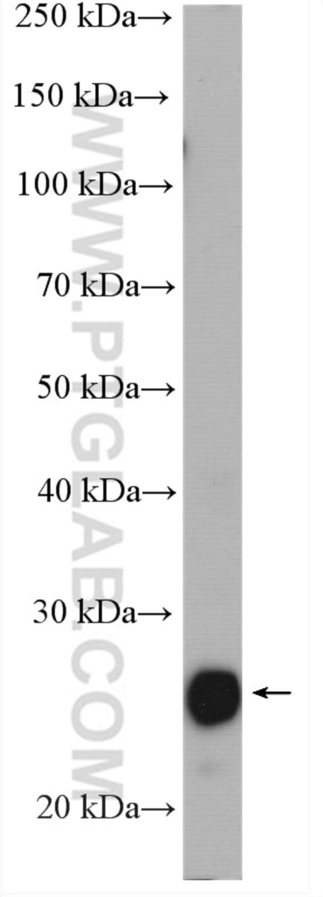 PRDX3 Rabbit anti-Human, Mouse, Rat, Polyclonal, Proteintech 150 μL; Unconjugated Produkte