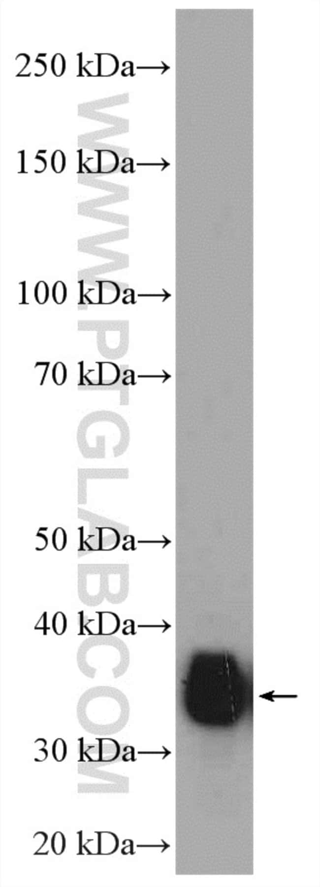 RFC4 Rabbit anti-Human, Polyclonal, Proteintech 150 μL; Unconjugated Produkte
