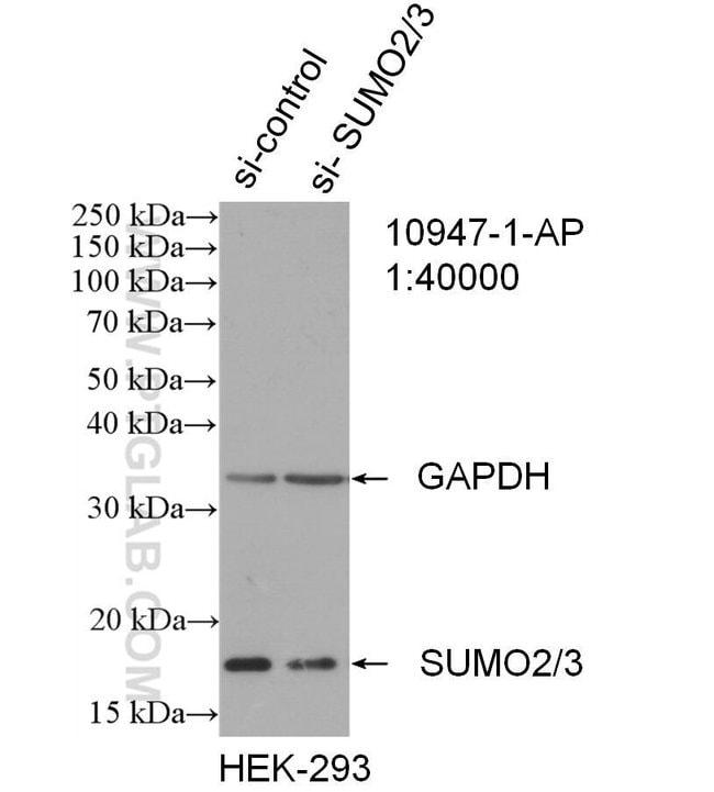 SUMO2/3 Rabbit anti-Human, Mouse, Rat, Polyclonal, Proteintech 150 μL; Unconjugated Ver productos