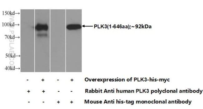 PLK3 Rabbit anti-Human, Mouse, Rat, Polyclonal, Proteintech 150 μL; Unconjugated Ver productos