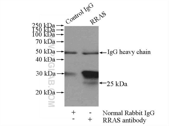 RRAS Rabbit anti-Human, Mouse, Rat, Polyclonal, Proteintech 20 μL; Unconjugated Ver productos
