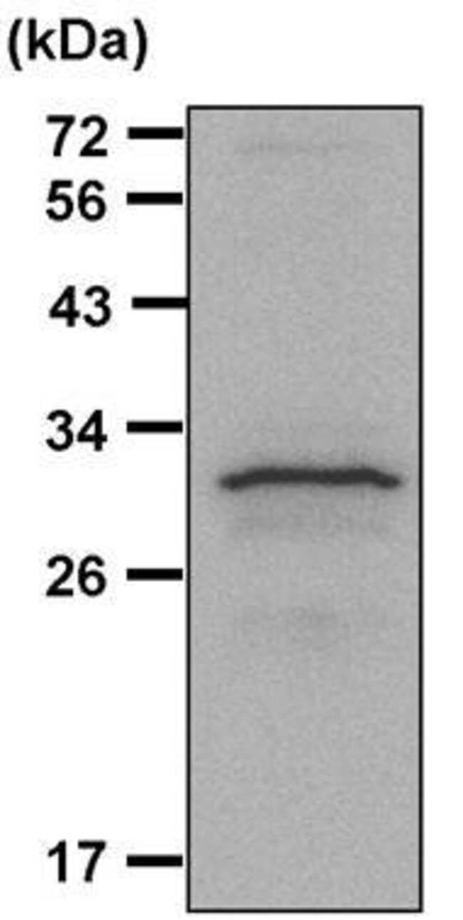 14-3-3 zeta Rabbit anti-Human, Mouse, Polyclonal, Invitrogen 100 µL;