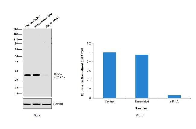 RAB5A Mouse anti-Human, Clone: 2E8B11, eBioscience Invitrogen 100 μg;