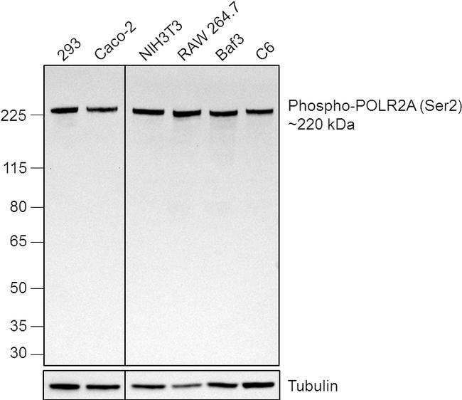 Phospho-RNA pol II CTD (Ser2) Rat anti-Human, Mouse, Rat, Clone: 3E10,