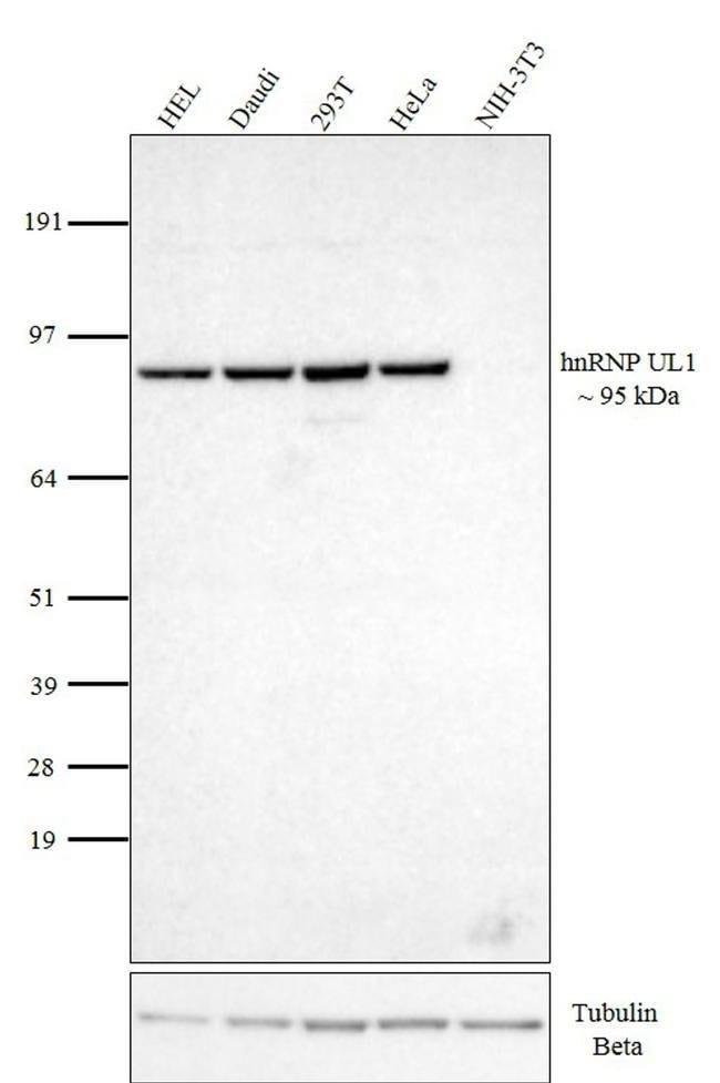 hnRNP UL1 Rat anti-Human, Clone: EAP 4A11, eBioscience, Invitrogen 100μg;
