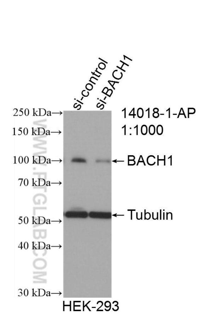 BACH1 Rabbit anti-Human, Mouse, Rat, Polyclonal, Proteintech 150 μL; Unconjugated voir les résultats