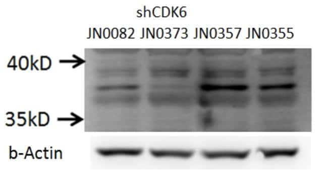 CDK6 Rabbit anti-Human, Mouse, Rat, Polyclonal, Proteintech 20 μL; Unconjugated Ver productos