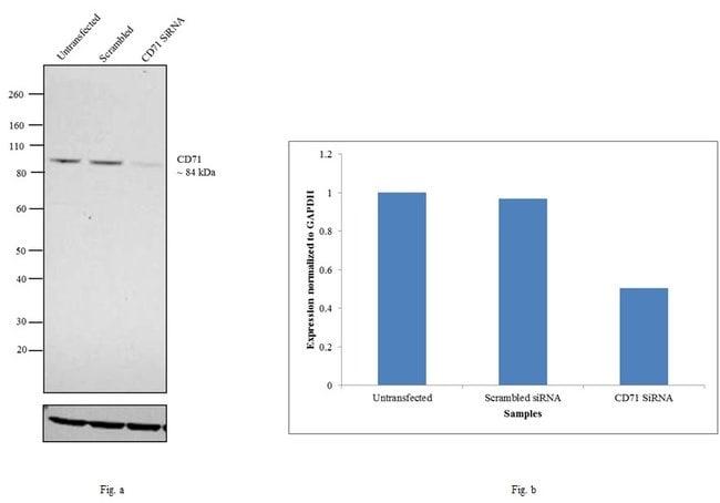 CD71 (Transferrin Receptor) Mouse anti-Human, Clone: OKT9 (OKT-9), eBioscience™ 100 μg; Unconjugated CD71 (Transferrin Receptor) Mouse anti-Human, Clone: OKT9 (OKT-9), eBioscience™