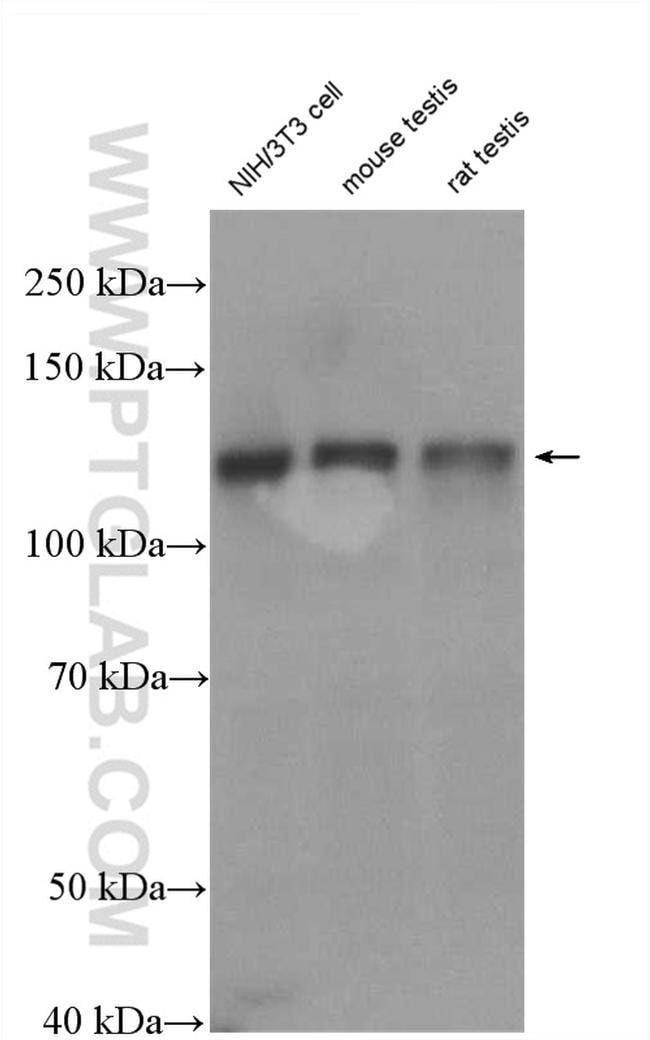 SMC6 Rabbit anti-Human, Mouse, Rat, Polyclonal, Proteintech 20 μL; Unconjugated Ver productos