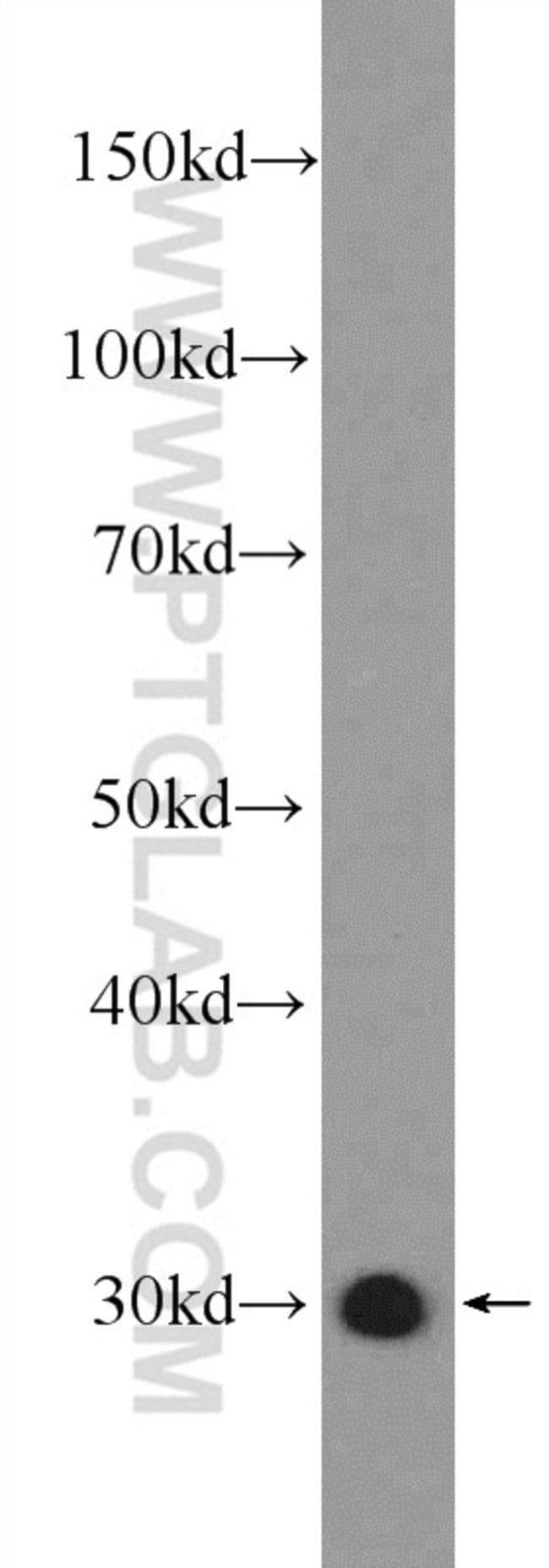 14-3-3 Rabbit anti-Human, Mouse, Rat, Polyclonal, Proteintech 150 μL; Unconjugated Produkte