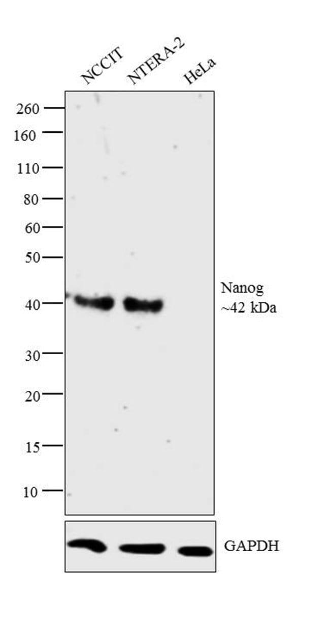 og Mouse anti-Human, Clone: hog.2, eBioscience™ 25 μg; Unconjugated og Mouse anti-Human, Clone: hog.2, eBioscience™