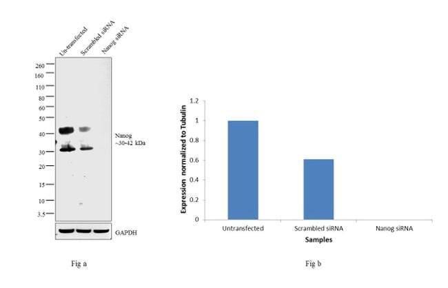 og Mouse anti-Human, Clone: hog.2, eBioscience™ 100 μg; Unconjugated og Mouse anti-Human, Clone: hog.2, eBioscience™