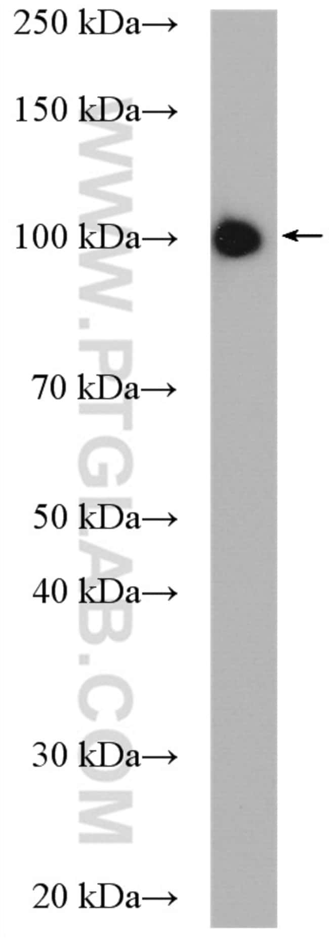 MARS Rabbit anti-Human, Mouse, Rat, Polyclonal, Proteintech 150 μL; Unconjugated Ver productos
