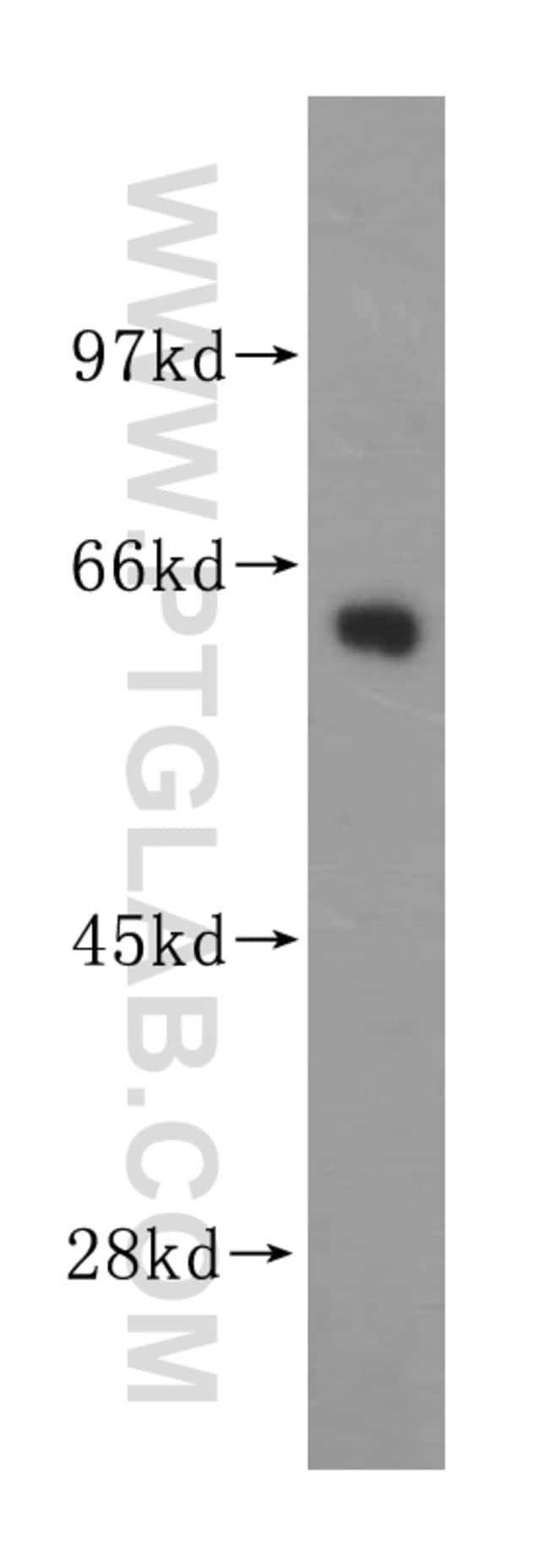 GEFT Rabbit anti-Human, Mouse, Rat, Polyclonal, Proteintech 20 μL; Unconjugated Produkte