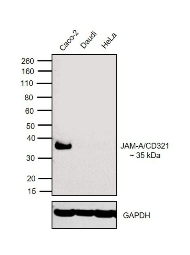 CD321 (F11R) Mouse anti-Human, Clone: WK9, eBioscience Invitrogen 10 mg;