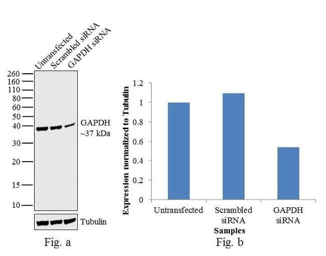 GAPDH Mouse anti-Human, Mouse, Non-human primate, Clone: FF26A, eBioscience