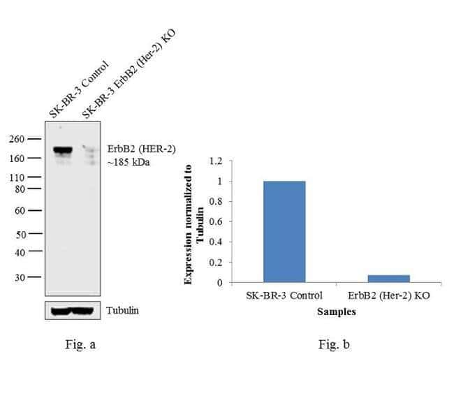 ErbB2 (HER-2) Mouse anti-Human, Clone: MJD2, eBioscience  100 µg;