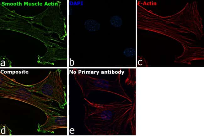 Alpha-Smooth Muscle Actin Mouse anti-Human, Mouse, Rat, Clone: 1A4, eBioscience
