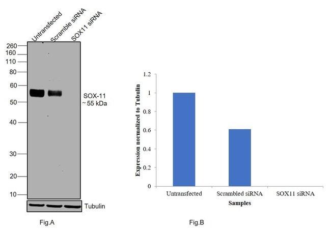 SOX11 Mouse anti-Human, Clone: SOX11-C1, eBioscience Invitrogen 2 mg; Unconjugated:Antibodies