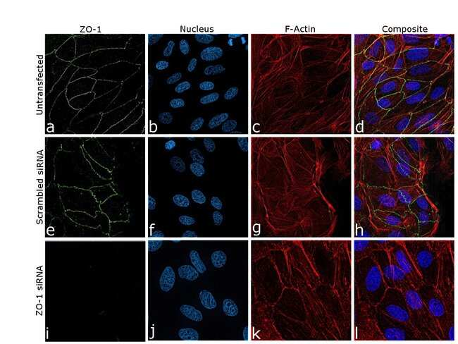 ZO-1 Rat anti-Canine, Mouse, Rat, Clone: R26.4C, eBioscience Invitrogen