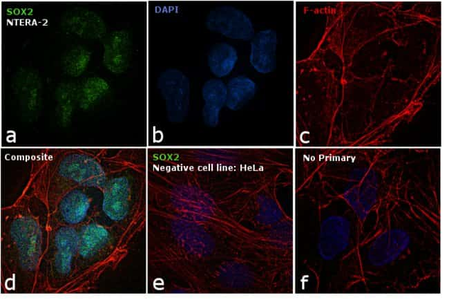 SOX2 Rat anti-Human, Mouse, Clone: Btjce, eBioscience™ 25 μg; Unconjugated SOX2 Rat anti-Human, Mouse, Clone: Btjce, eBioscience™