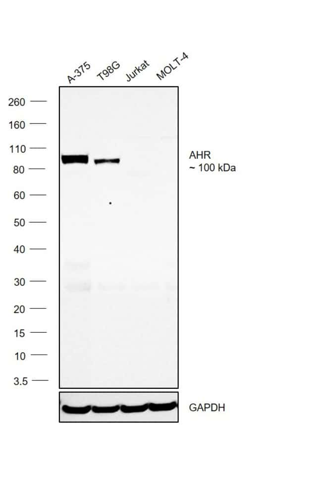 AHR Mouse anti-Human, Clone: FF3399, eBioscience Invitrogen 2 mg; Unconjugated:Antibodies