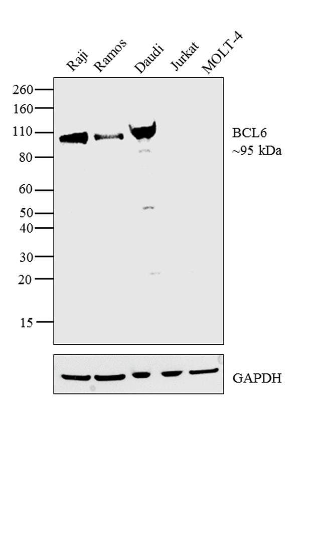 BCL6 Mouse anti-Human, Mouse, Clone: GI191E, eBioscience™ 100 μg; Unconjugated BCL6 Mouse anti-Human, Mouse, Clone: GI191E, eBioscience™