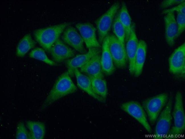 RPL39 Rabbit anti-Human, Mouse, Rat, Polyclonal, Proteintech 20 μL; Unconjugated Produkte
