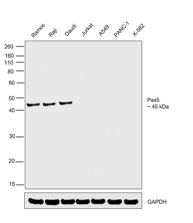 PAX5 Rat anti-Human, Mouse, Clone: 1H9, eBioscience Invitrogen 10 mg; Unconjugated:Antibodies