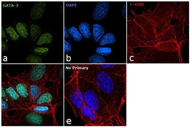Gata-3 Rat anti-Human, Mouse, Porcine, Rhesus Monkey, Clone: TWAJ, eBioscience