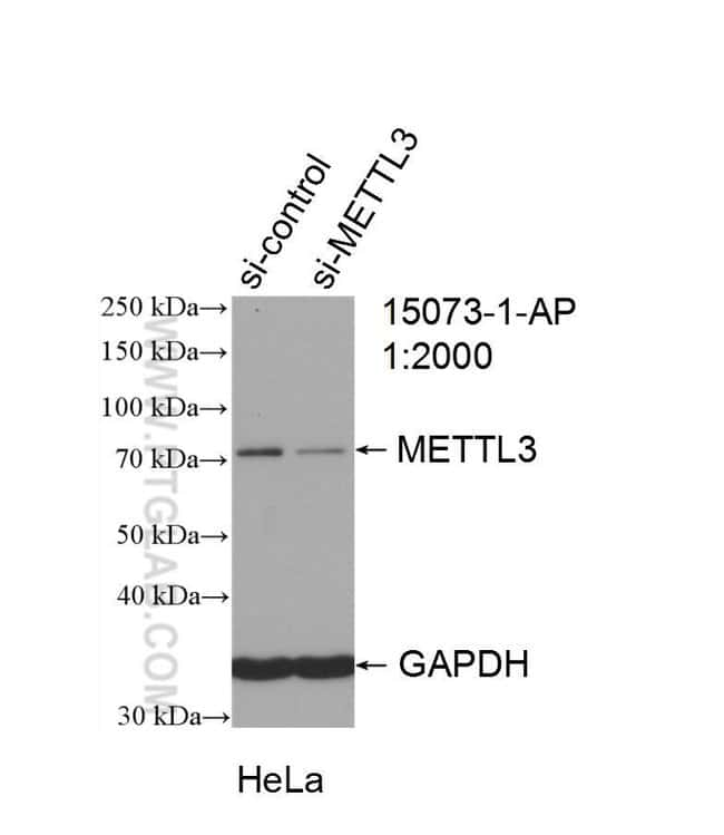 METTL3 Rabbit anti-Human, Mouse, Rat, Polyclonal, Proteintech 20 μL; Unconjugated Produkte