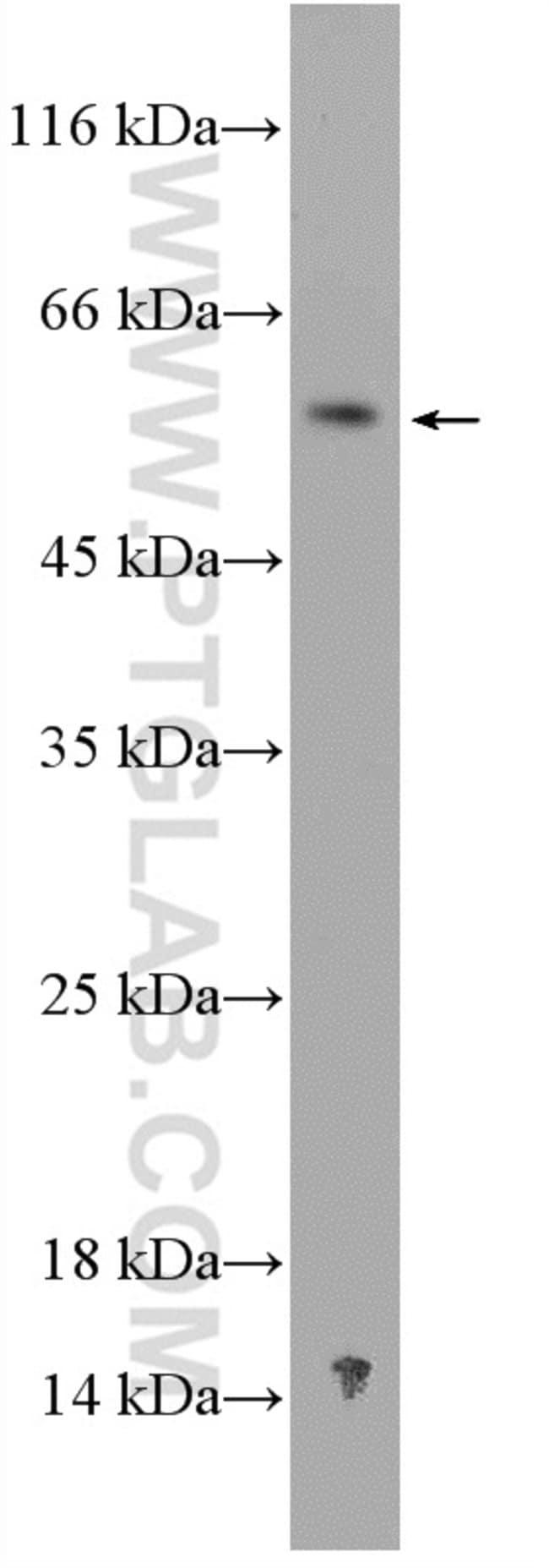 NDP Rabbit anti-Human, Mouse, Polyclonal, Proteintech 20 μL; Unconjugated Produkte