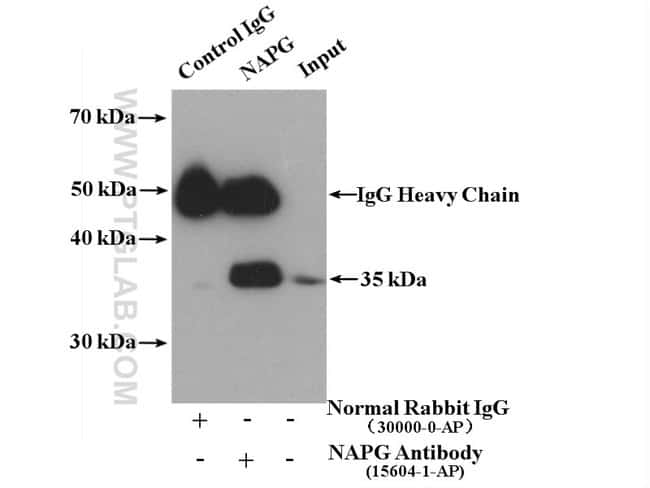 NAPG Rabbit anti-Human, Mouse, Rat, Polyclonal, Proteintech 150 μL; Unconjugated Produkte