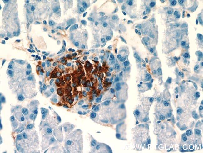 Insulin Rabbit anti-Human, Mouse, Rat, Polyclonal, Proteintech 150 μL; Unconjugated voir les résultats