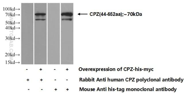 CPZ Rabbit anti-Human, Mouse, Rat, Polyclonal, Proteintech 150 μL; Unconjugated voir les résultats
