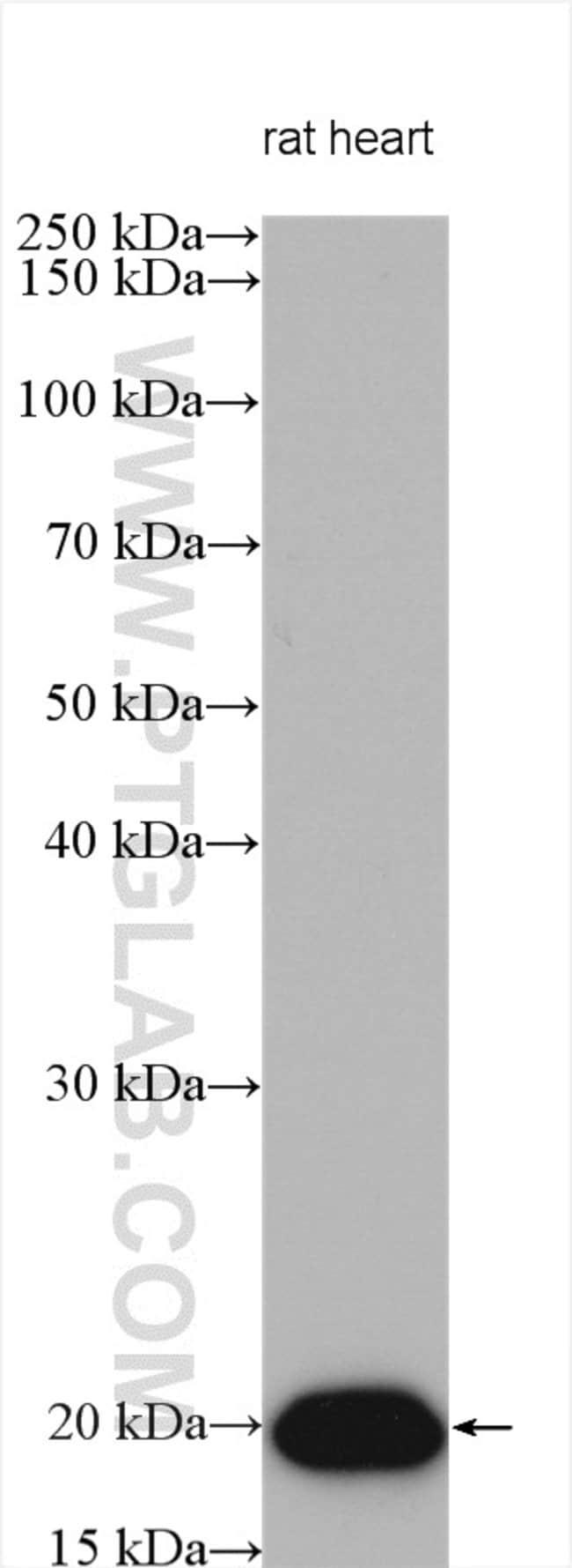 HSP20 Rabbit anti-Human, Mouse, Rat, Polyclonal, Proteintech 20 μL; Unconjugated Ver productos