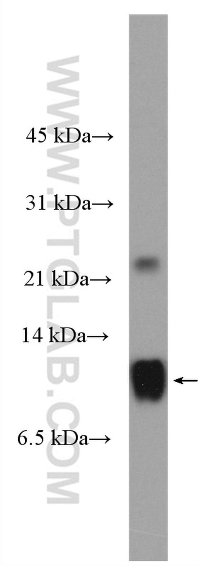 Apolipoprotein A II Rabbit anti-Human, Polyclonal, Proteintech 20 μL; Unconjugated Ver productos